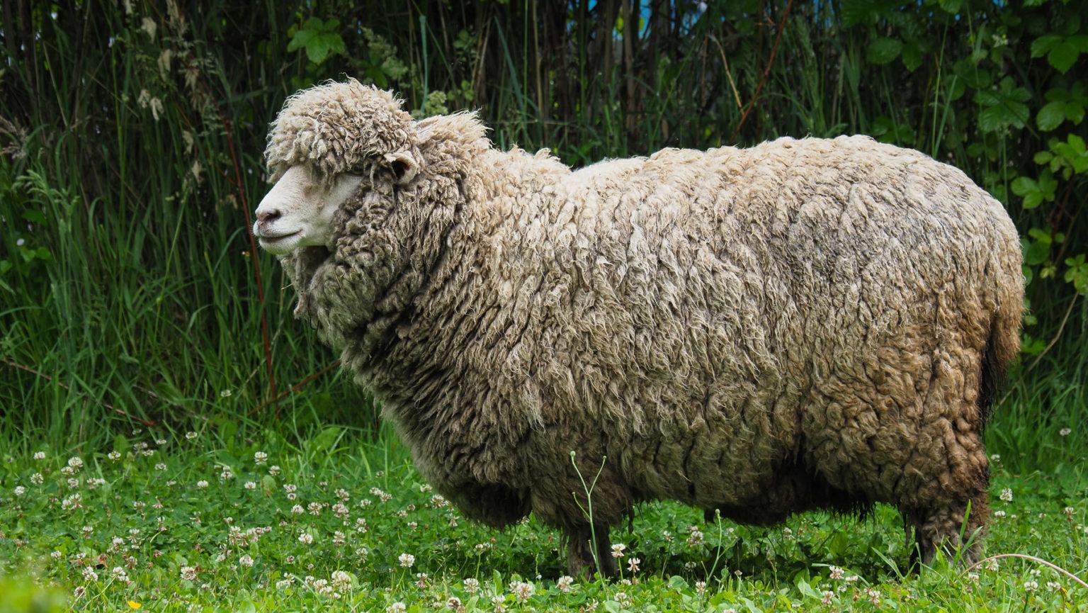 Wieviel kg Wolle wohl dieses Schaf trägt?