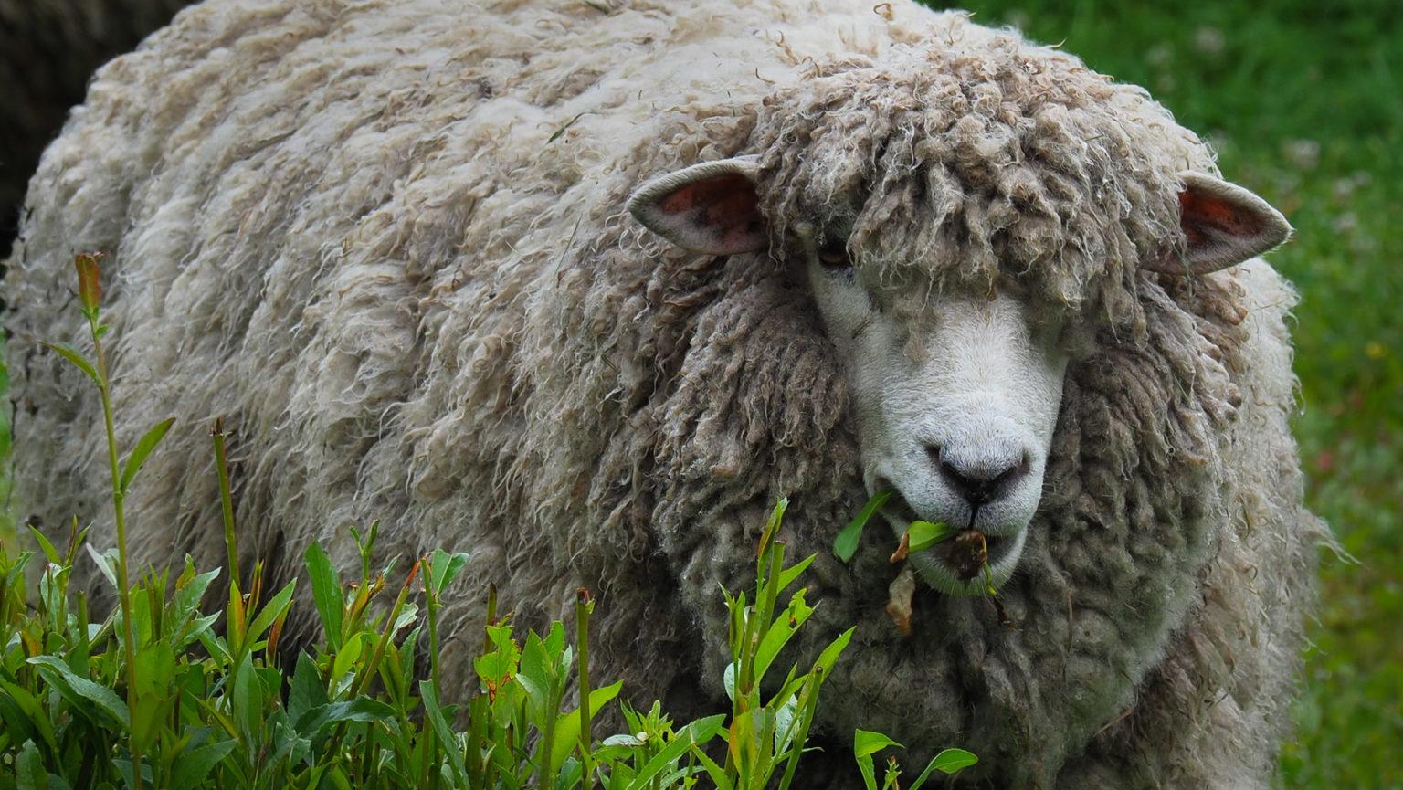 Sooo viel Wolle auf einem Schaf!