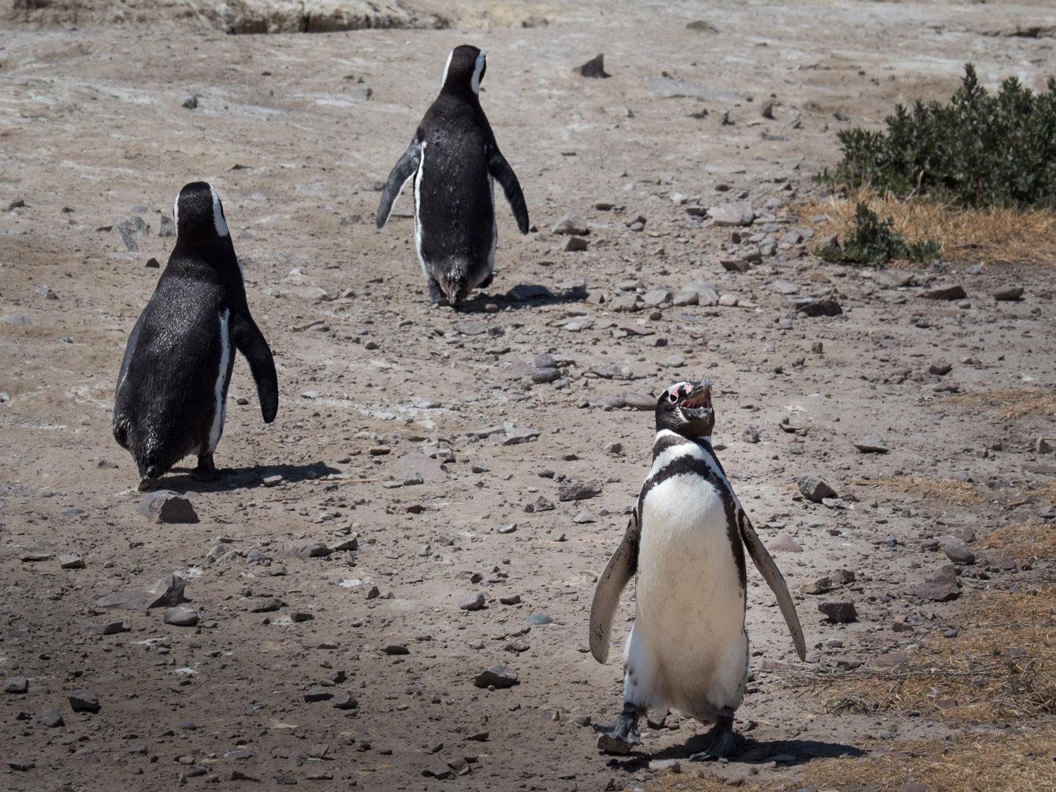 Pinguin Autobahn. Ein stetiges Kommen und Gehen zwischen Strand und Bruthöhlen
