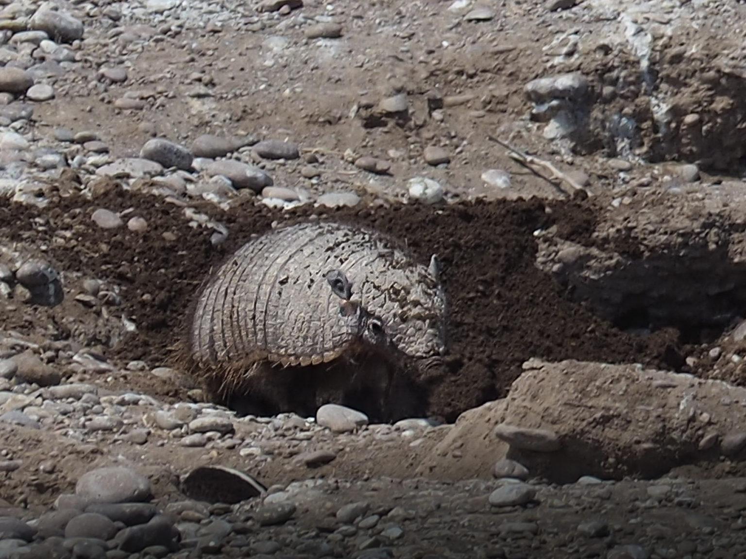 Hier hat sich ein Gürteltier in einer verlassenen Pinguinhöhle eingenistet