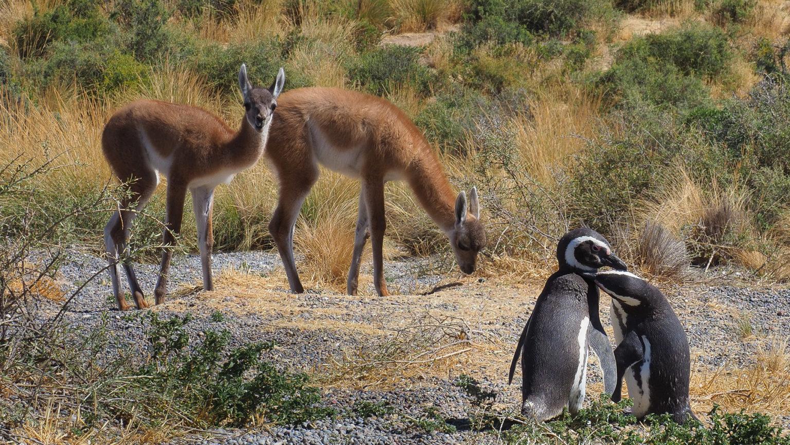 Friedliches Miteinander: Guanakos und Pinguine