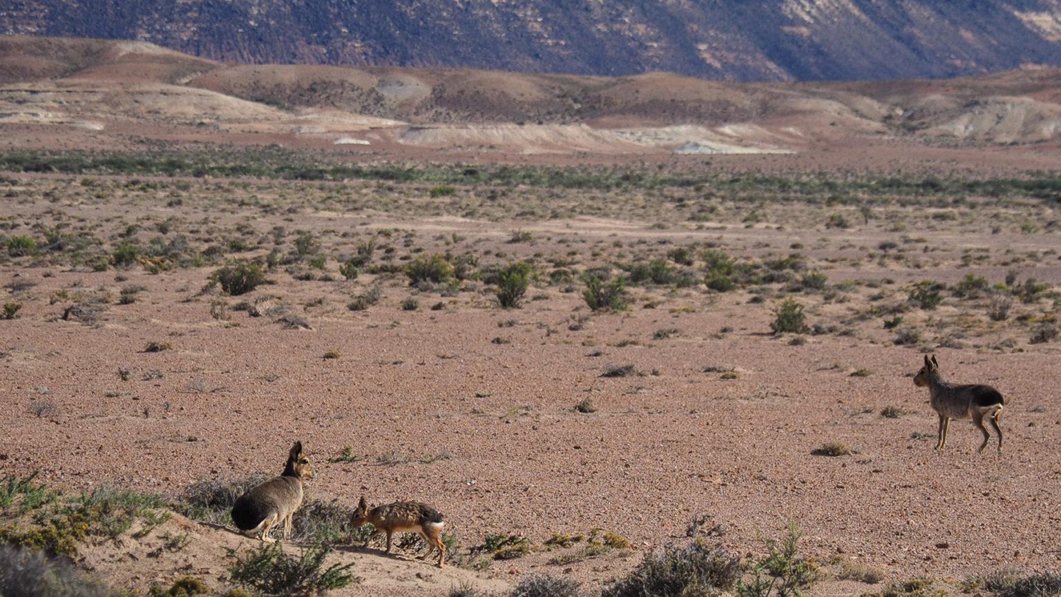 Eine Mara-Familie, sogenannte Pampashasen