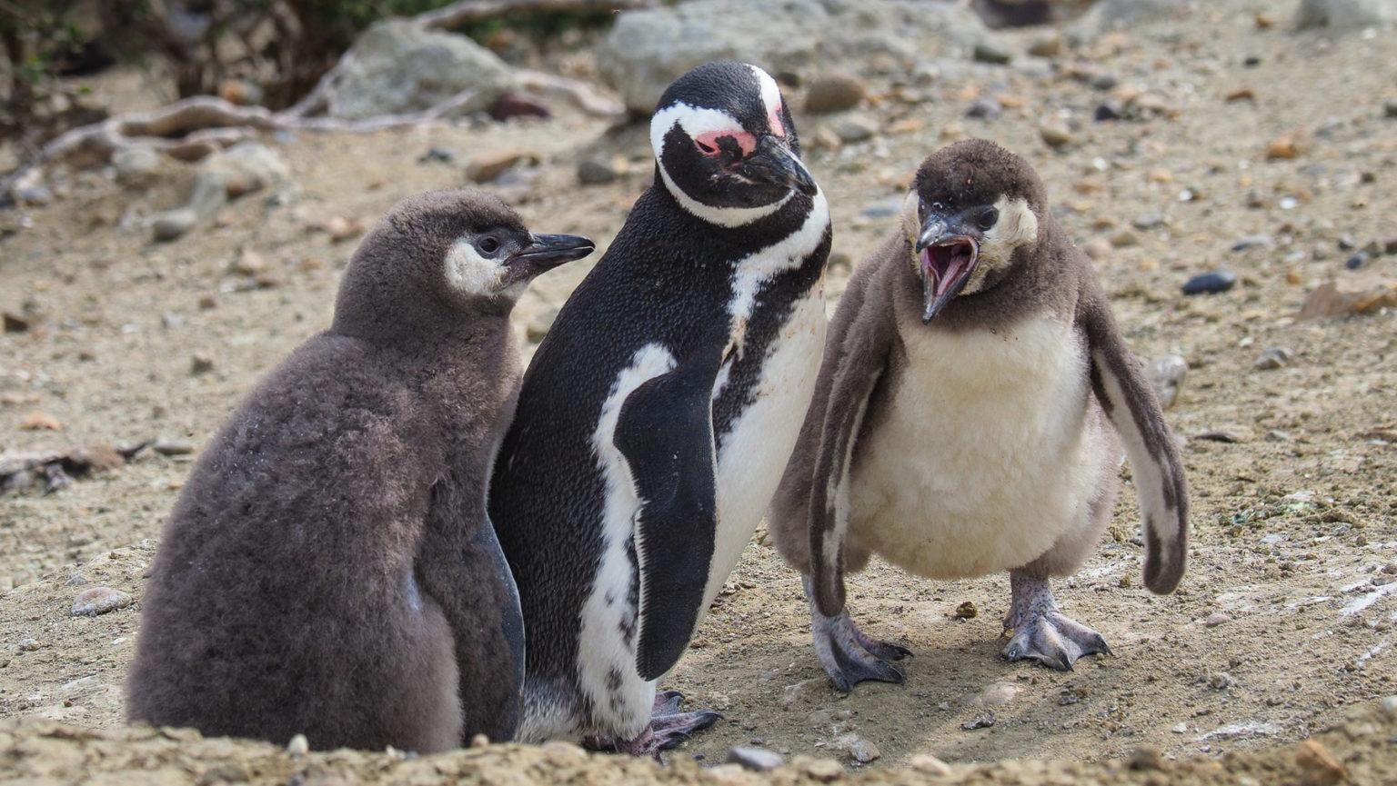 Pinguineltern haben es auch nicht leicht