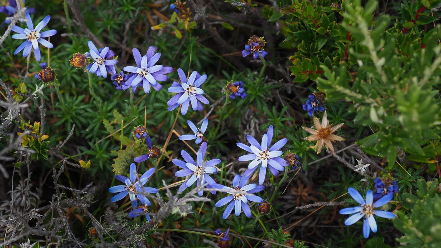 Blumen und Beeren an der Südspitze in Chile