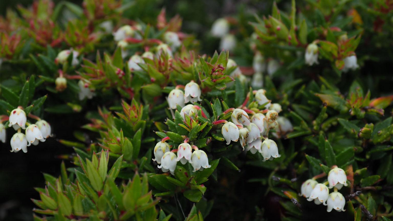 Blüten der Calafate Beeren