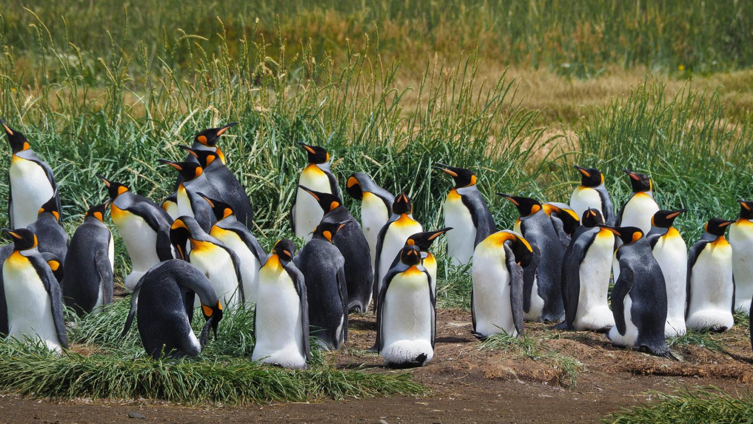 Königspinguine! Die einzige Kolonie außerhalb der Antarktis