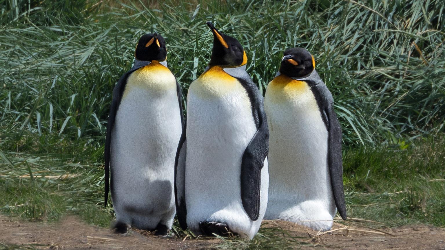 Königspinguine balancieren ihr Ei auf den Füßen unter der Bauchfalte