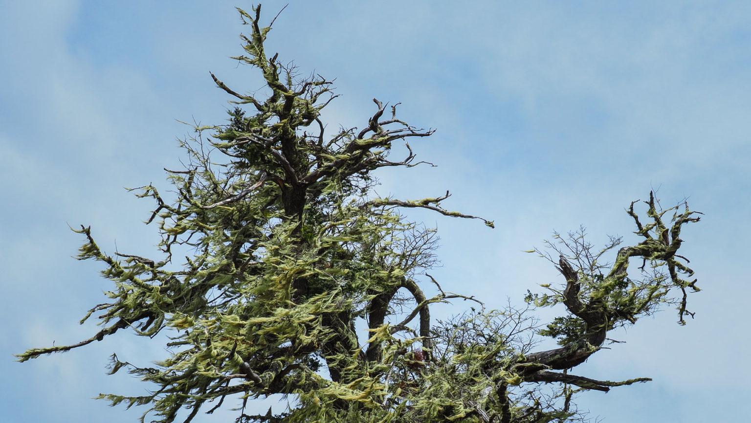 Den mit Flechten überwucherten Bäumen sieht man das harte Klima an