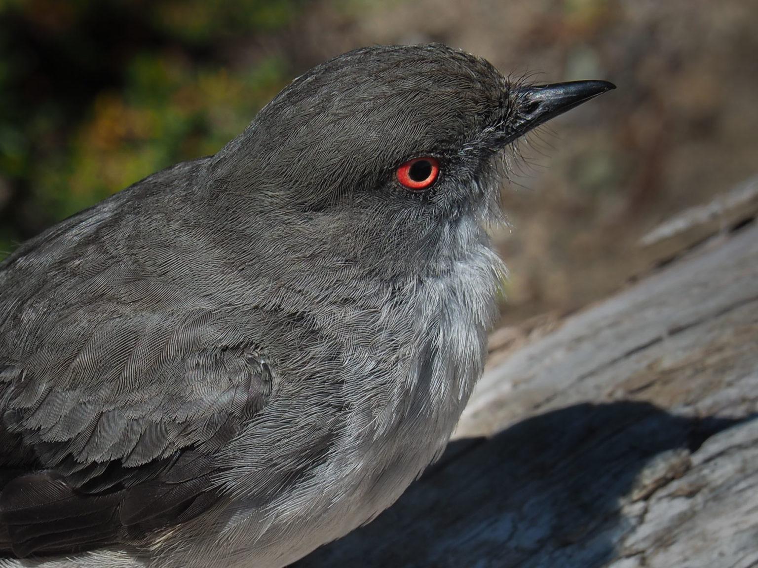 Waldvogel im Terra del Fuego NP