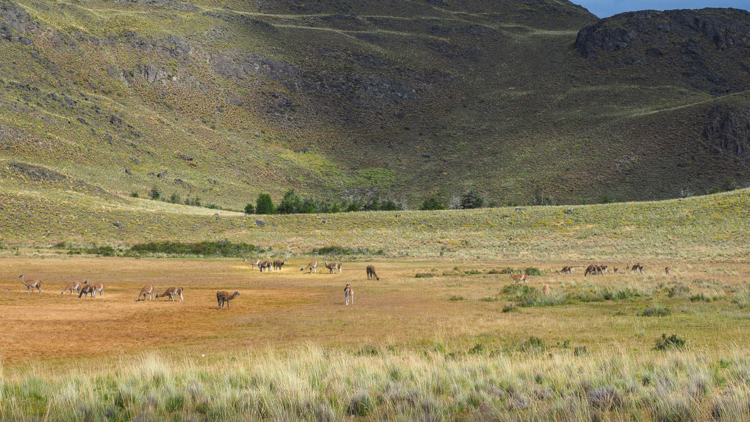 Großen Guanakoherden im Parque Patagonia