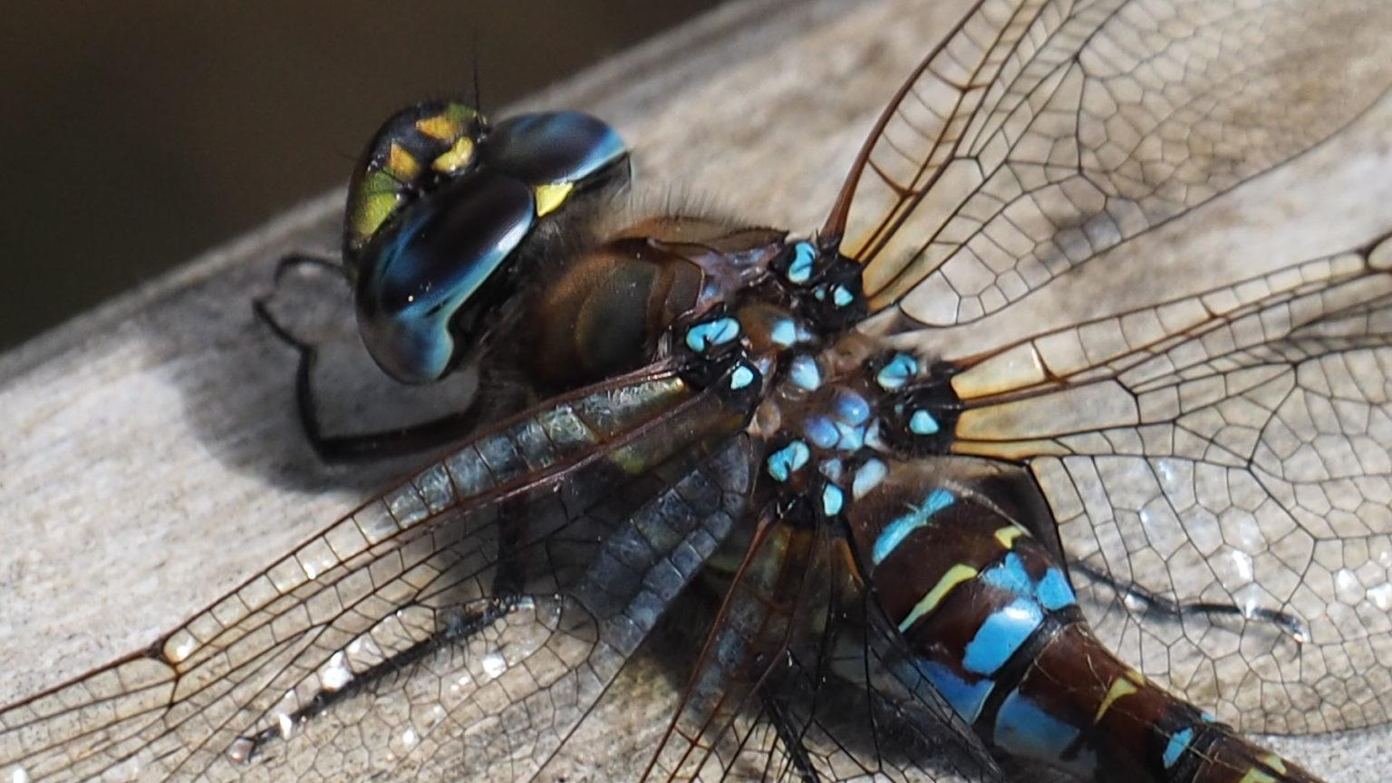 Libellen und Blumen in der üpigen Vegitation hier im Süden Chiles