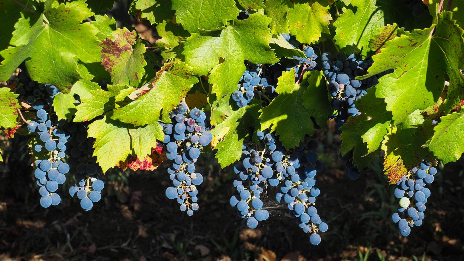 Im Weinanbaugebiet Chiles