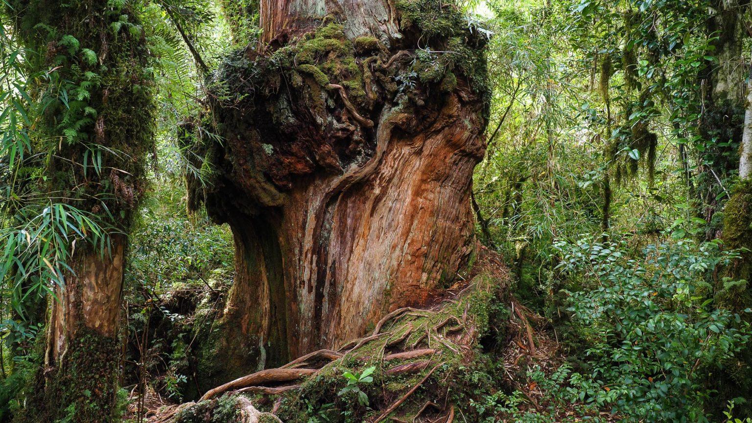 Wunderschöne uralte Bäume im Pumalin Park