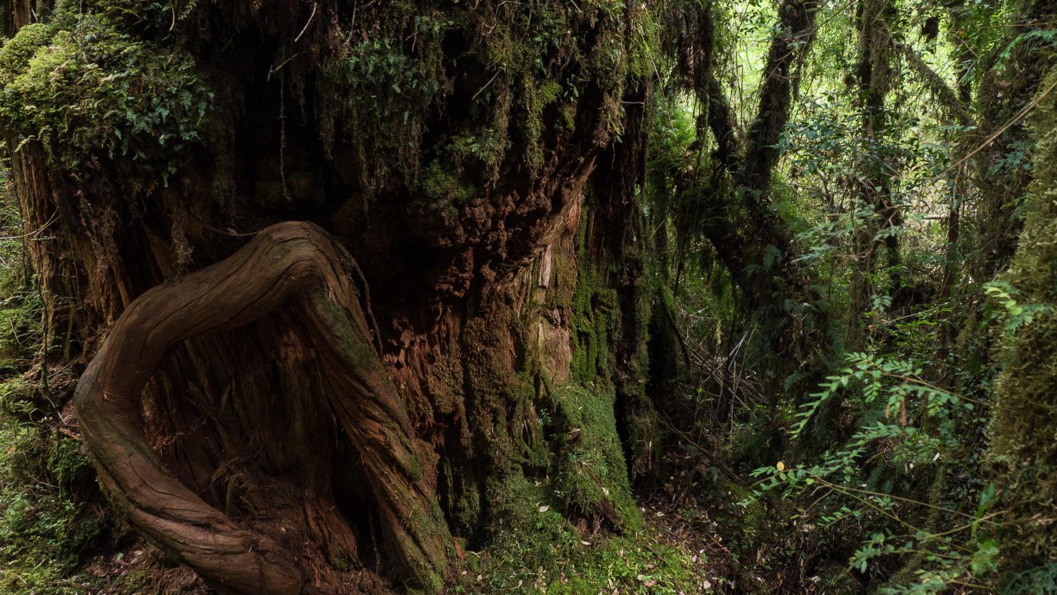 Alerca Bäumen, die alle 10 bis 20 Jahre nur einen Zentimeter wachsen.