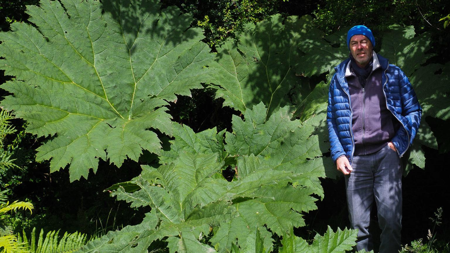 Das bis zu 3 m große Mammutblatt sieht aus wir Rhabarber