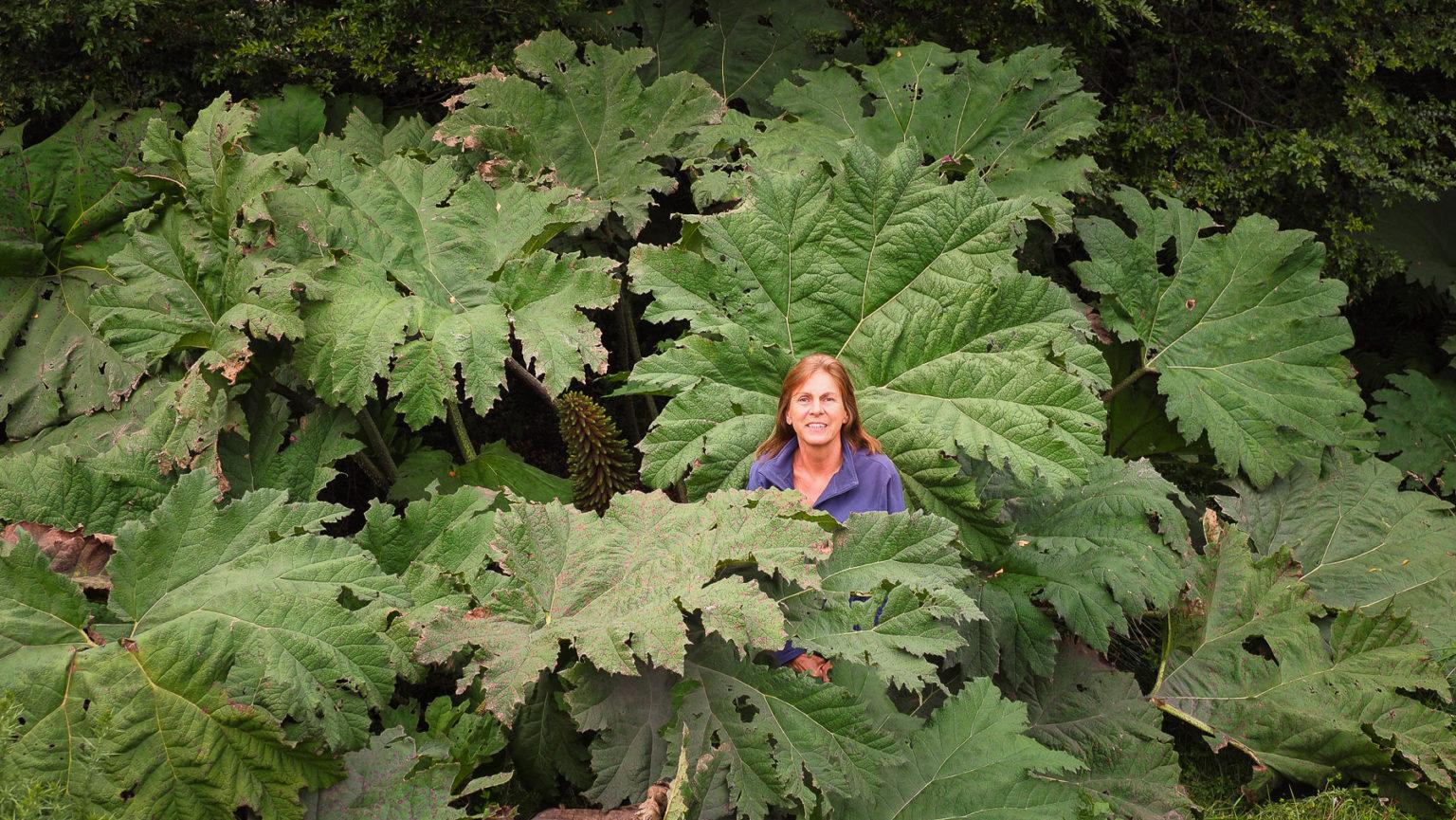 Immer wieder faszinierend, diese riesigen Rhabarberblätter