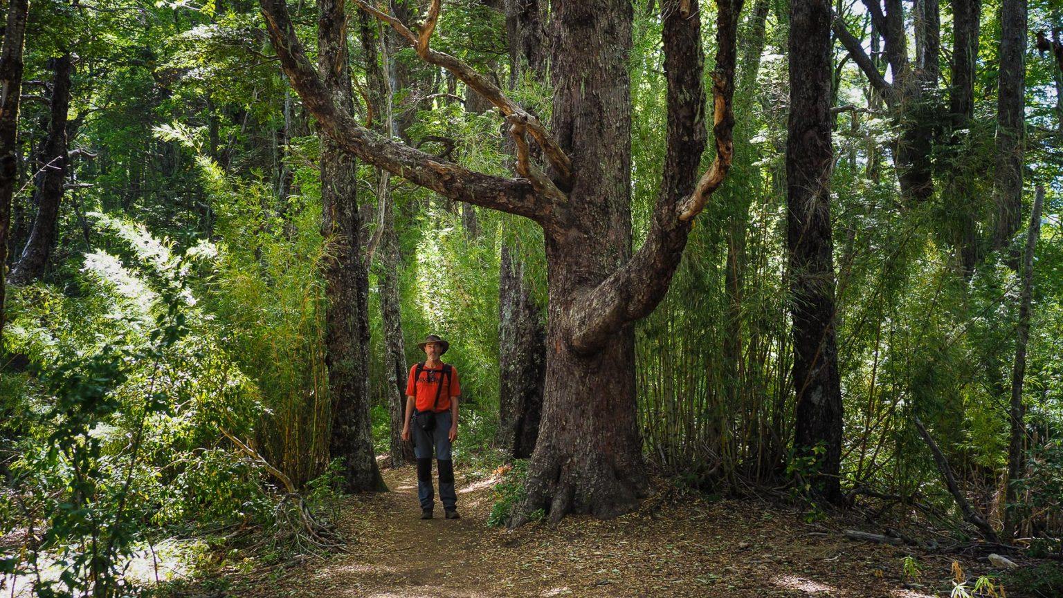 Wir laufen durch einen urweltlichen Araucarien-Wald.