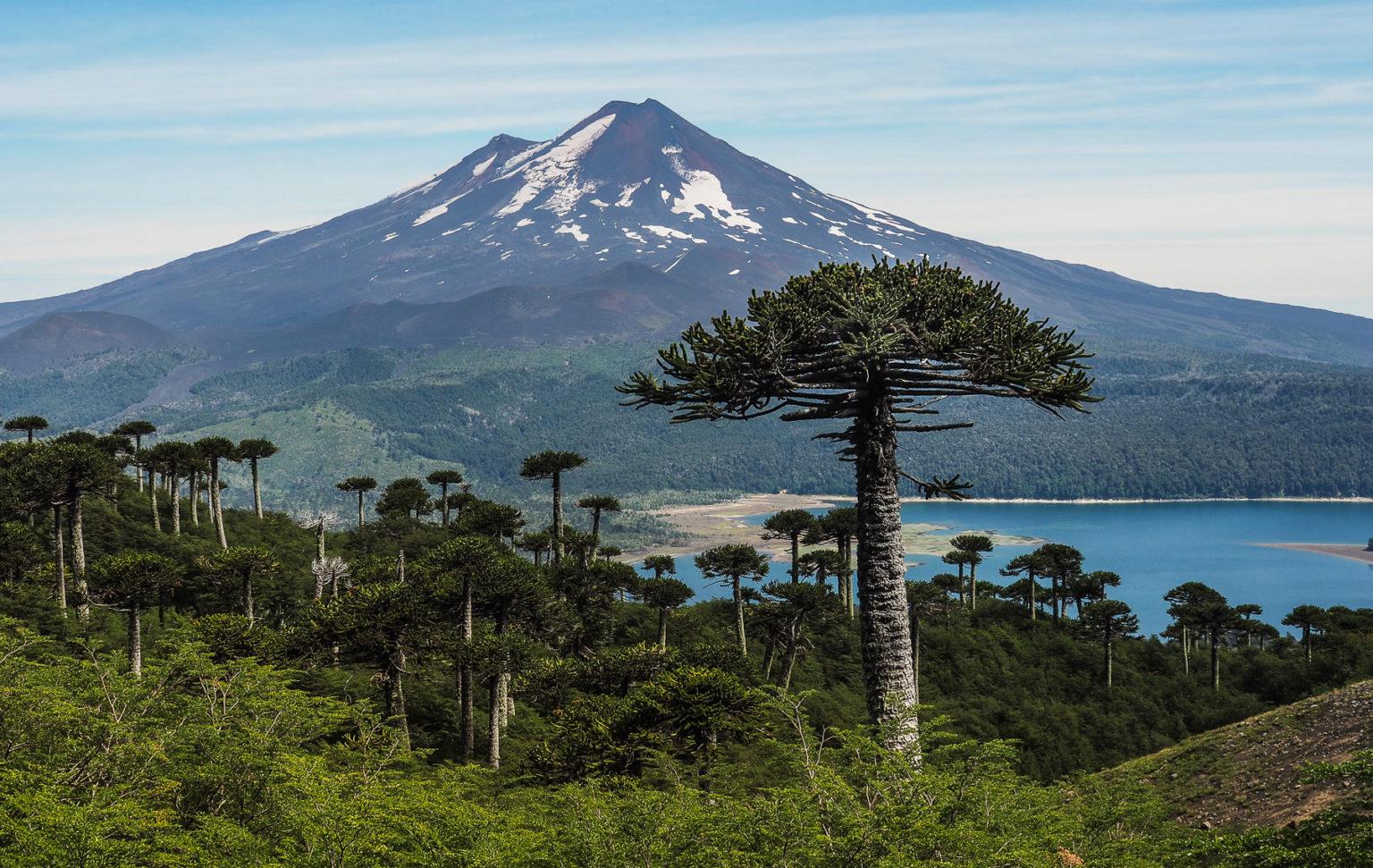 Postkartenmotiv Araucarien vor dem Vulkan Llaima